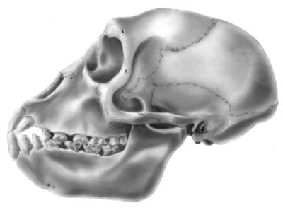 monkey_skull.jpg