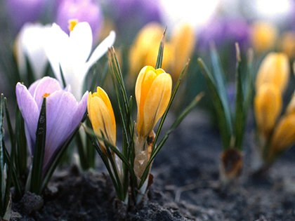 Multi-colored-crocuses